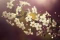 Картинка весна, вишня, цветение, лепестки, cherry blossom, цветок, flower
