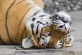 Картинка кошка, морда, тигр, амурский, ©Tambako The Jaguar