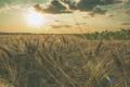 Картинка поле, небо, подсолнухи, колоски