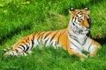 Картинка морда, Тигр, на траве, отдых, полоски, лежит, усы