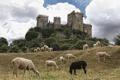 Картинка овцы, Испания, Spain, Андалусия, Andalusia, Кордова, Córdoba
