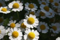 Картинка цветы, ромашки, Перетрум