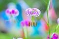 Картинка фиолетовый, макро, цветы, лепестки, тычинки, цветение