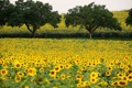 Картинка пейзаж, поле, подсолнухи, деревья, цветы