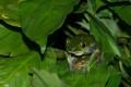 Картинка глаза, листья, вода, лягушка, земноводное
