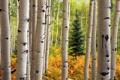 Картинка осень, лес, деревья, ель, ствол, береза, осина