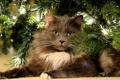 Картинка взгляд, кошак, ёлка, котяра