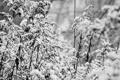 Картинка листья, кустарник, черно белое фото