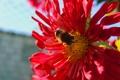Картинка цветок, лето, пчела