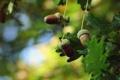 Картинка листья, жолуди, дубки