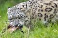 Картинка кошка, трава, взгляд, мясо, ирбис, снежный барс, ©Tambako The Jaguar