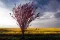 Картинка поле, лето, природа, дерево, рапс