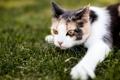 Картинка кот, лапа, трава, мордочка, взгляд, кошка
