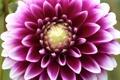 Картинка георгин, цветок, цветение, лепестки, яркий, бутон