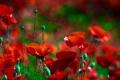 Картинка цветение, поле, цветы, маки