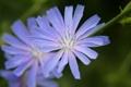 Картинка цветок, поле, василек