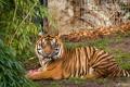 Картинка кошка, тигр, куст, суматранский