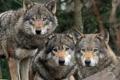 Картинка хищники, волки, троица, санитары
