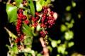 Картинка листья, ягоды, растение, плоды, красные, гроздья