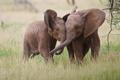 Картинка пара, африка, слоны