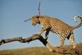 Картинка дикая кошка, хищник, сук, леопард