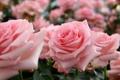 Картинка бутоны, розы, нежность