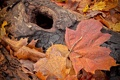 Картинка угли, осень, ствол, листва, макро