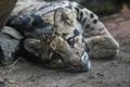 Картинка взгляд, отдых, хищник, окрас, дикая кошка, дымчатый леопард
