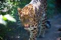 Картинка взгляд, морда, природа, животное, хищник, решетка, леопард