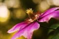 Картинка розовый, цветок, лоза, клематис, лиана, фокус