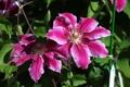 Картинка розовый, лепестки, цветение, цветки, Клематис
