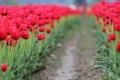 Картинка цветок, листья, цветы, красный, фон, обои, размытие