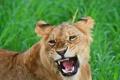 Картинка кошка, морда, пасть, клыки, рычит, львёнок