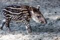 Картинка природа, фон, Tapir