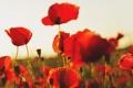 Картинка небо, маки, poppy