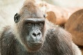 Картинка фон, Gorilla, взгляд