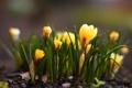 Картинка трава, цветы, природа, весна, желтые, крокусы, первоцвет