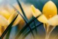 Картинка макро, цветы, желтые, первоцвет, крокус