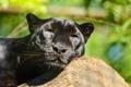 Картинка дикая кошка, морда, пантера, отдых, хищник, леопард