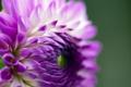 Картинка цветок, сиреневый, лепестки