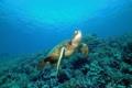 Картинка море, океан, черепаха, кораллы