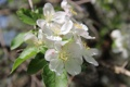 Картинка белый, солнце, макро, свет, Весна, Яблоня, Белые цветы