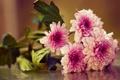 Картинка макро, букет, хризантемы