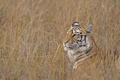 Картинка трава, морда, профиль, маскировка, дикая кошка, бенгальский тигр