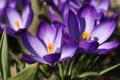 Картинка фиолетовый, весна, Крокусы, первоцвет, макро, цветы