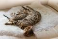 Картинка животные, отдых, окрас, спят, бенгальские коты