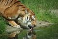 Картинка язык, трава, вода, тигр, река, пьёт