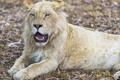 Картинка голубые глаза, белый лев, ©Tambako The Jaguar, кошка