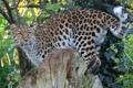Картинка амурский, кошка, листва, пень, леопард