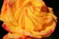Картинка цветок, вода, капли, роса, роза, лепестки
